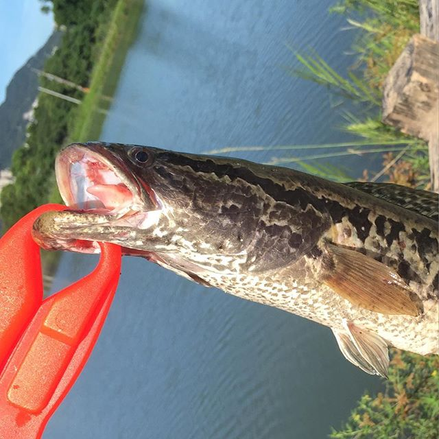 Snakehead on creature bait in DaXi, Taiwan. https://youtu.be/kSef5Kbz-L4