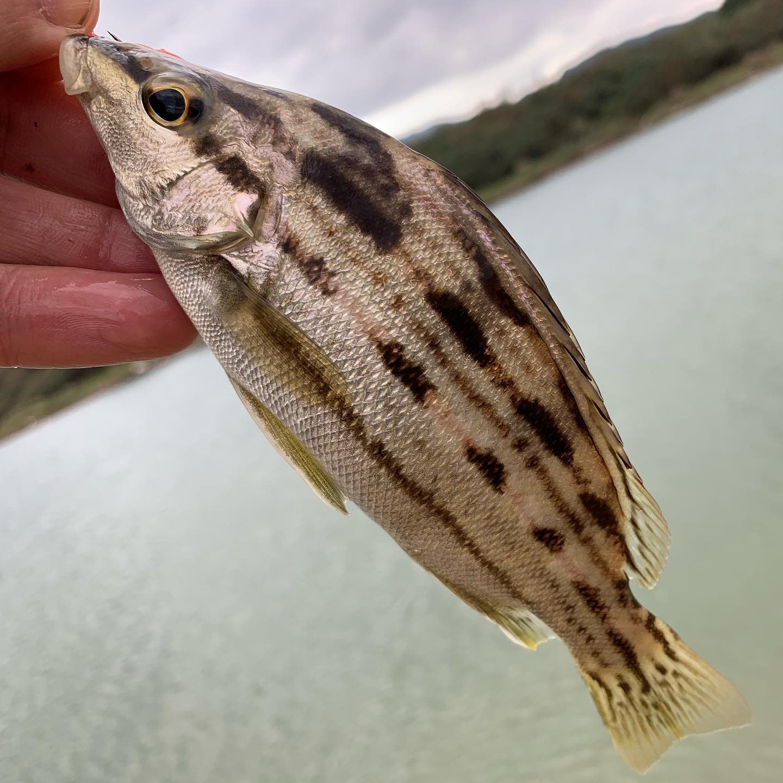 Новый вид пойман! Rhyncopelate Oxyrhynchus. Я сначала подумал что эта рыбка из семейства губарей, ан нет, тигровоокунёвые. Caught New Specie! Sharpbeak Terapon. Quite rare in Taiwan.
